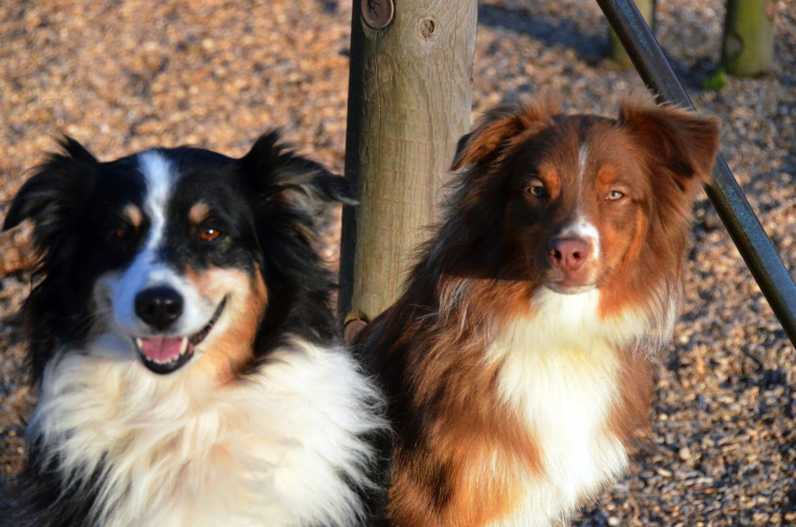 Aussies!  Red and Blue Tri Austrailian Shepherds.  What's not to love?