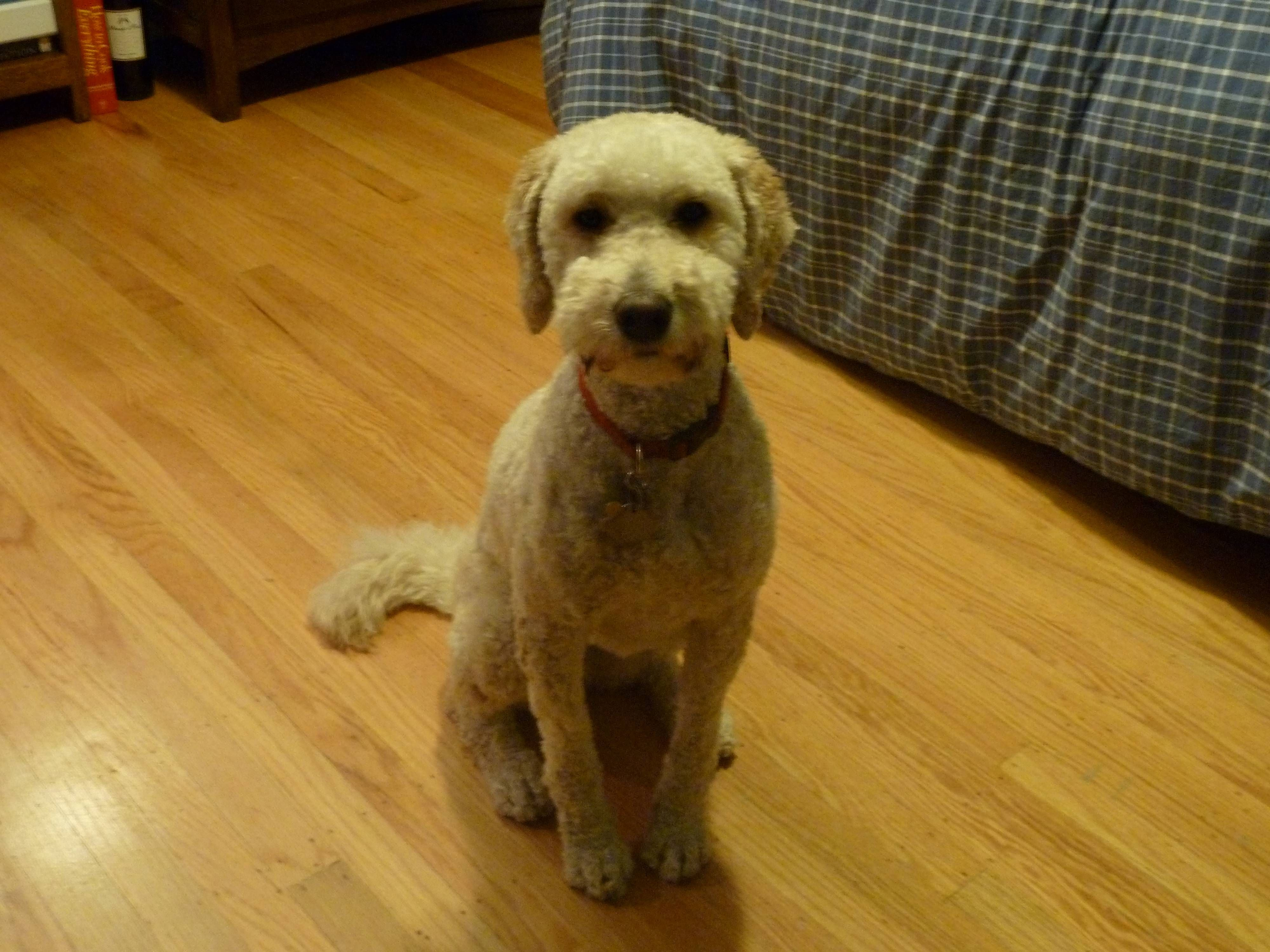 cockapoo shaved hairstyle - Google Search   Womens