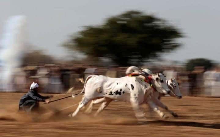 A bull savarguides his bulls as he competes in a bull race in Pind Sultani, Pakistan.