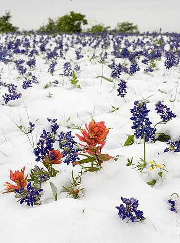 Temple Texas Easter Morning Snow On The Bluebonnets Blue Bonnets Temple Texas Indian Paintbrush