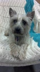 Adopt Zoey On Dogs Terrier Dogs Cairn Terrier
