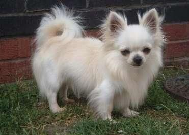 Long Hair Chihuahua With Images Chihuahua Puppies Chiwawa