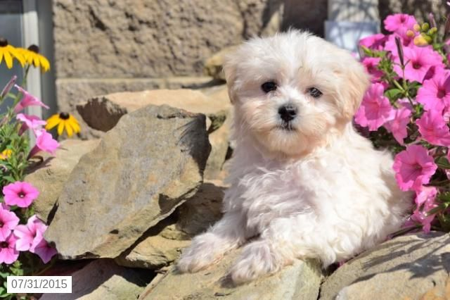 Maltese Puppy For Sale In Ohio Maltese Puppies For Sale Puppies