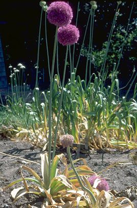 Full Sun Allium Giganteum Giant Onion Cultivation Easy To Grow In