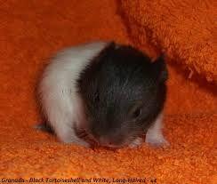 Resultado de imagem para transporte hamster caseiro