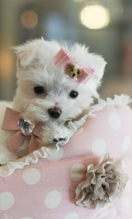 Teacup Maltese Puppies Florida Maltese Puppies For Sale