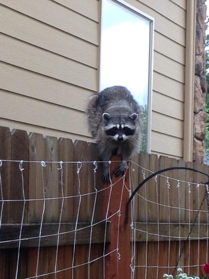 A raccoon on my fence