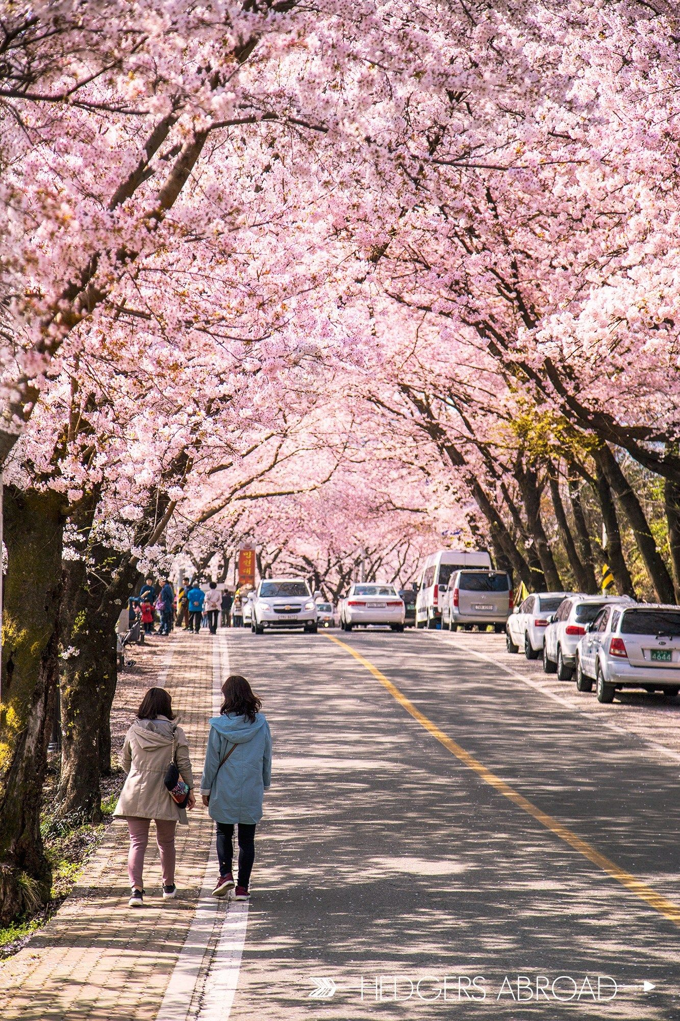 How To See The Hwagae Cherry Blossom Festival Hedgers Abroad South Korea Photography Seoul Korea Travel South Korea Travel