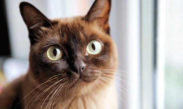 Diagnose Treat Feline Diabetes Mellitus Clinician S Brief Cat Having Kittens Pets Animals