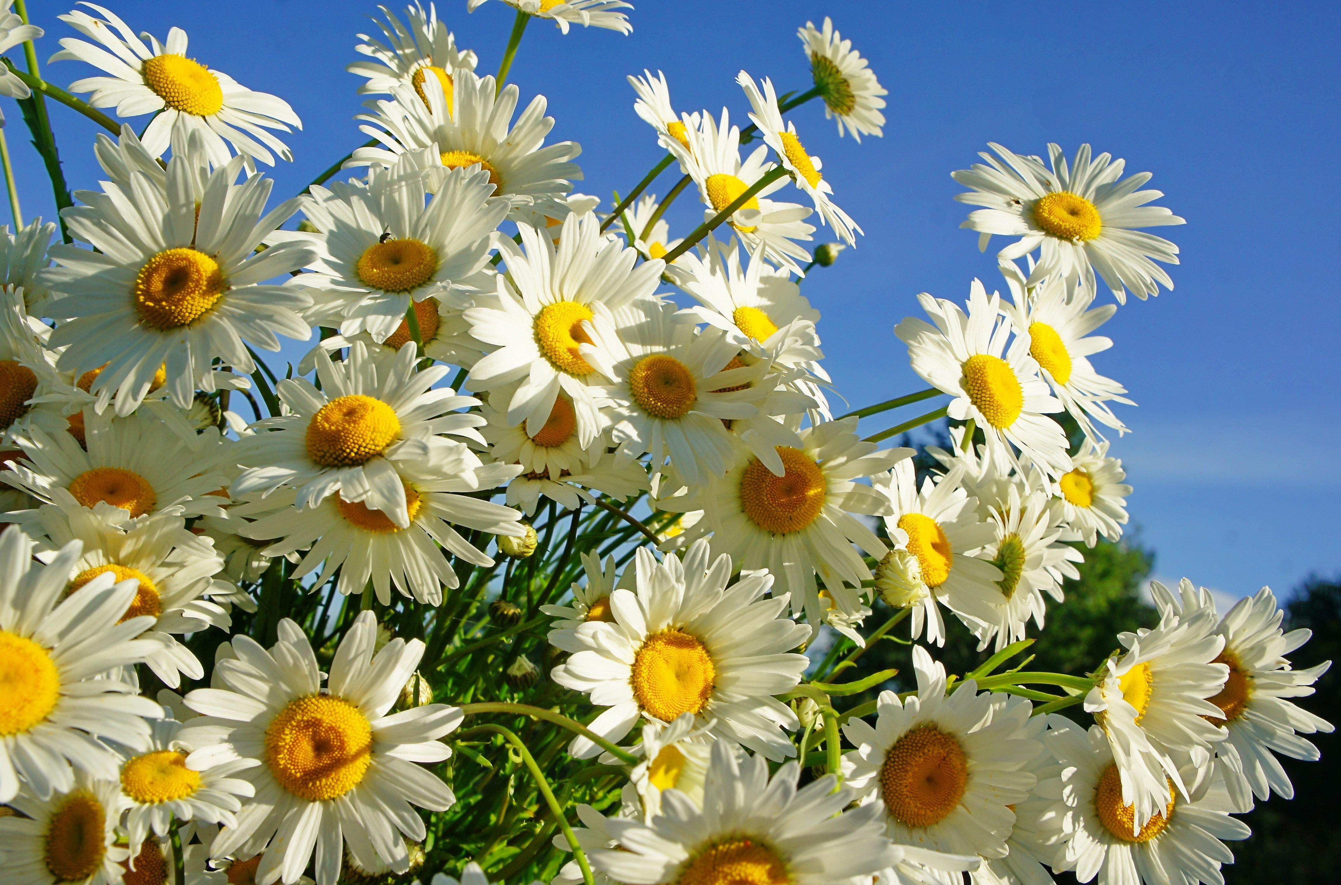 Download Wallpaper Daisies, Flower, Sky, Sunny, Summer HD