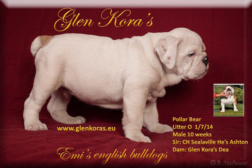 English Bulldog Puppies Glen Kora S For Sale Pollar Bear Http