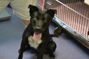 Buddy is an adoptable Labrador Retriever Dog in Edwardsville, IL.  ...