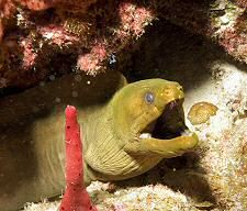 Moray eel - diving somewhere in the Carribean