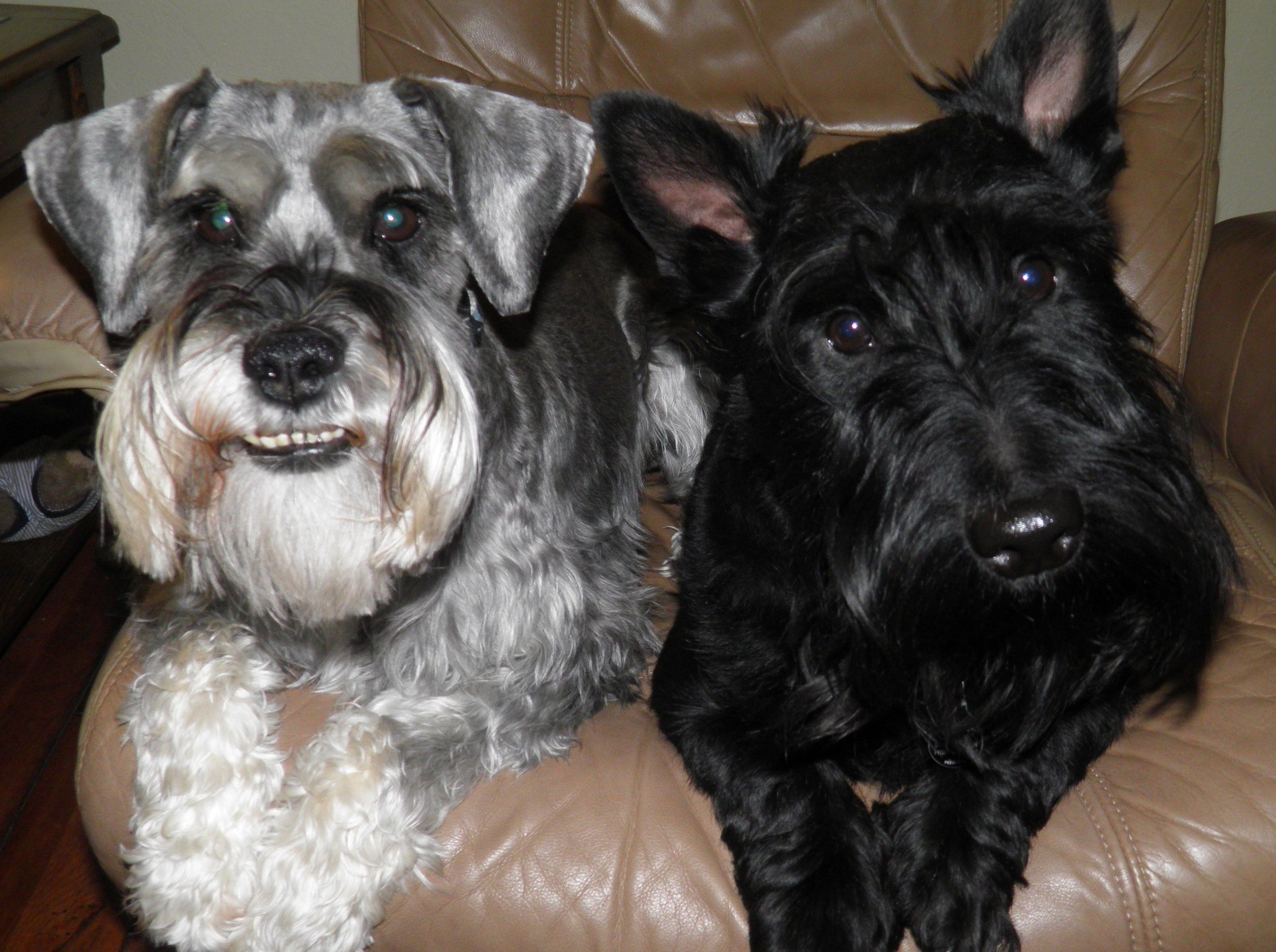 My Boys Odie Schnauzer And Douglas Scottish Terrier Smartest Dogs Scottish Terrier Mini Schnauzer