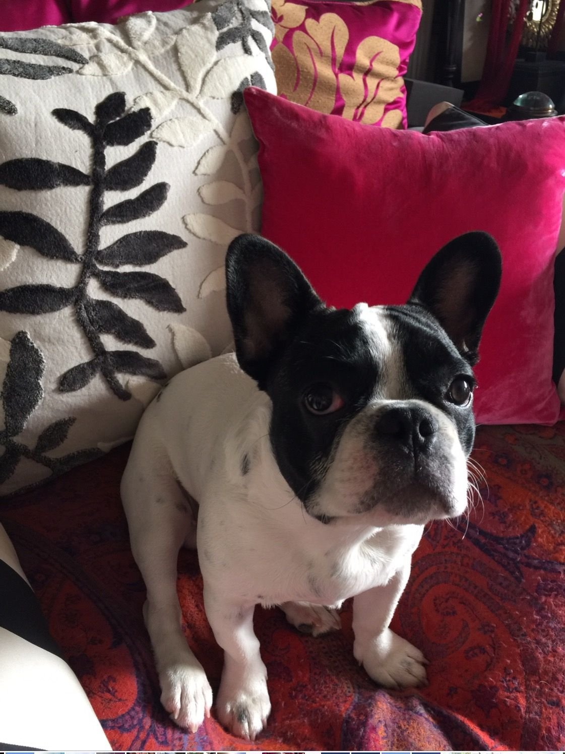 Mapple My French Little Puppy French Bulldog Blue French