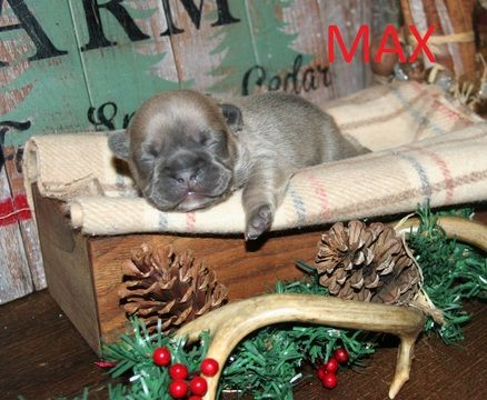 French Bulldog Puppy For Sale In Chelsea Ok Adn 53894 On