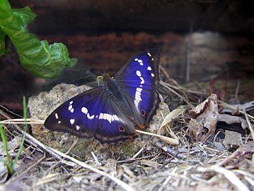immagini della farfalla blu