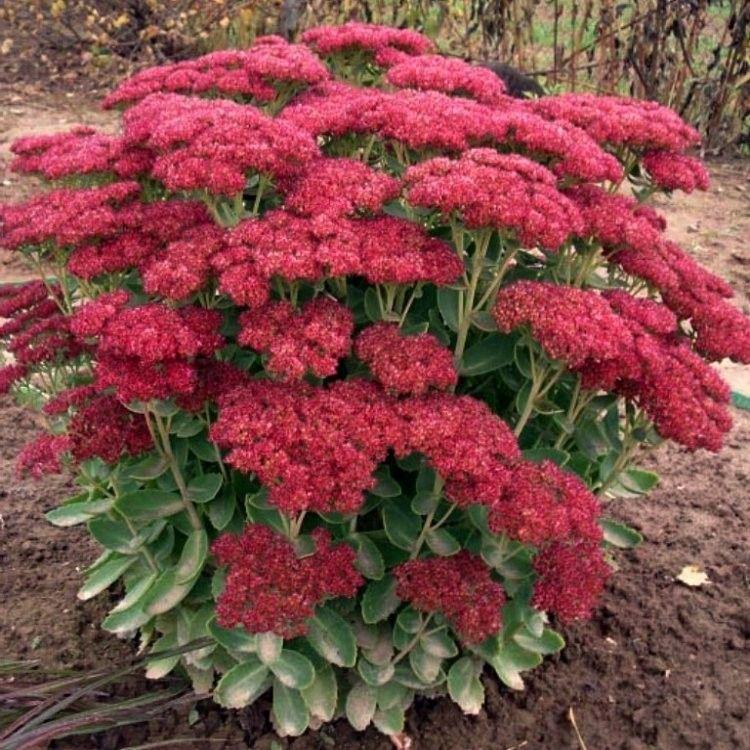 Image result for sedum autumn joy Sedum garden, Sedum