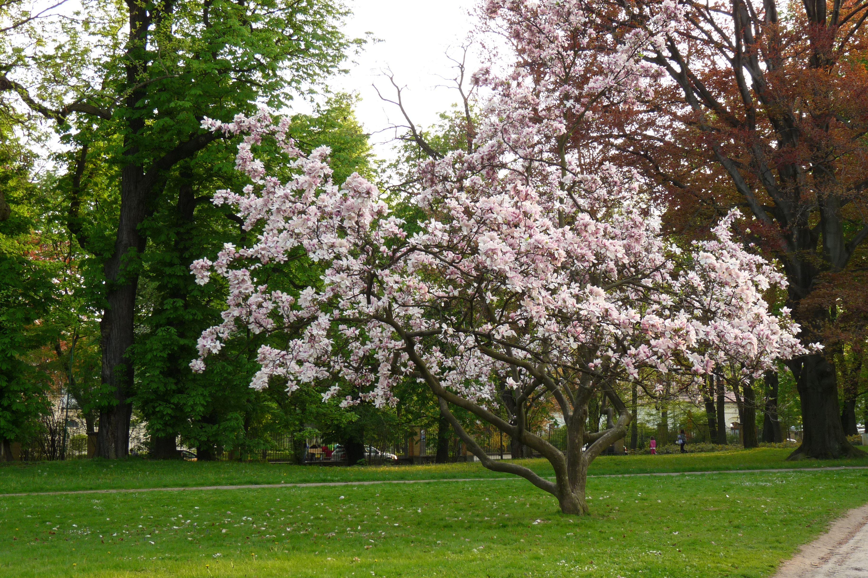 magnolia x soulangeana saucer magnolia zone 4 20 25. Black Bedroom Furniture Sets. Home Design Ideas
