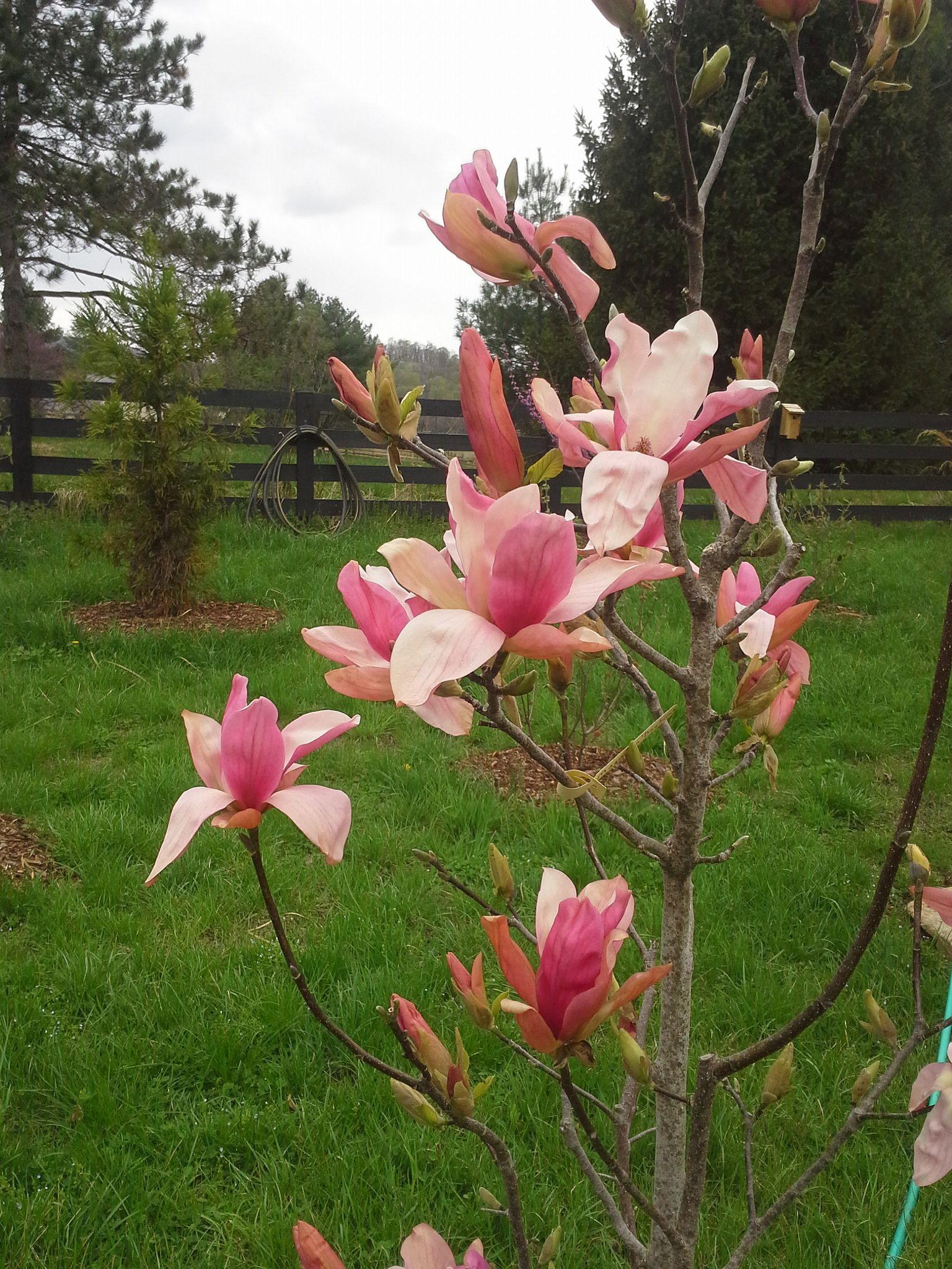 Magnolia Daybreak Trees To Plant Magnolia Plants