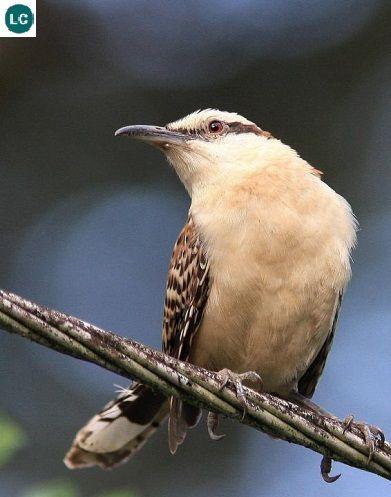 https://www.facebook.com/WonderBirds-171150349611448/ Tiêu liêu/Giỏ giẻ gáy hung; Họ Tiêu liêu/Giỏ giẻ-Troglodytidae (Wren); Trung Mỹ    Rufous-naped wren (Campylorhynchus rufinucha); IUCN Red List of Threatened Species 3.1 : Least Concern (LC)(Loài ít quan tâm).