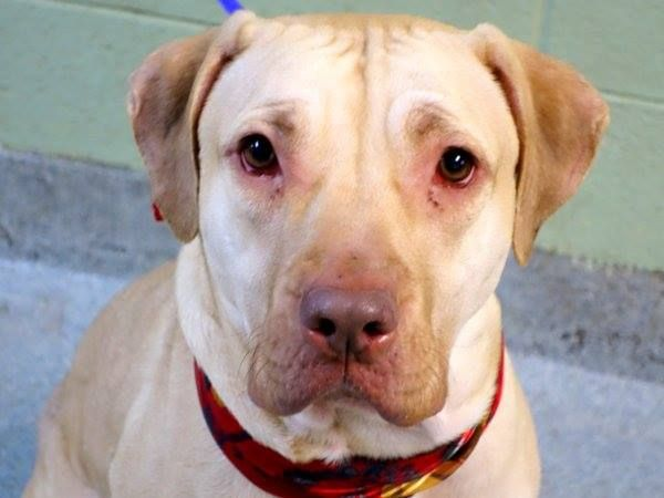 Manhattan Center PINKY - A1023585 SPAYED FEMALE, TAN / WHITE, PRESA CANARIO MIX, 1 yr, 10 mos OWNER SUR - EVALUATE, NO HOLD Reason PERS PROB Intake condition ILLNESS Intake Date 12/19/2014 https://www.facebook.com/photo.php?fbid=925682247444655