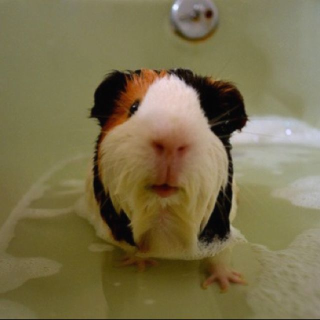 Pin On Guinea Pigs The Little Pets