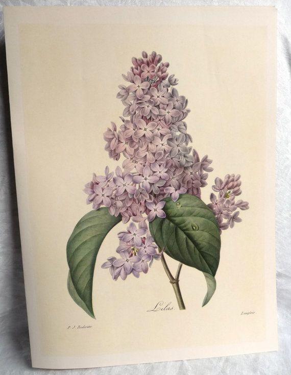 Redoute 39 Lilac 39 Botanical Illustration Book Plate Light Purple Flowers Vintage Flora Botanical Drawings Botanical Art Prints Botanical Illustration