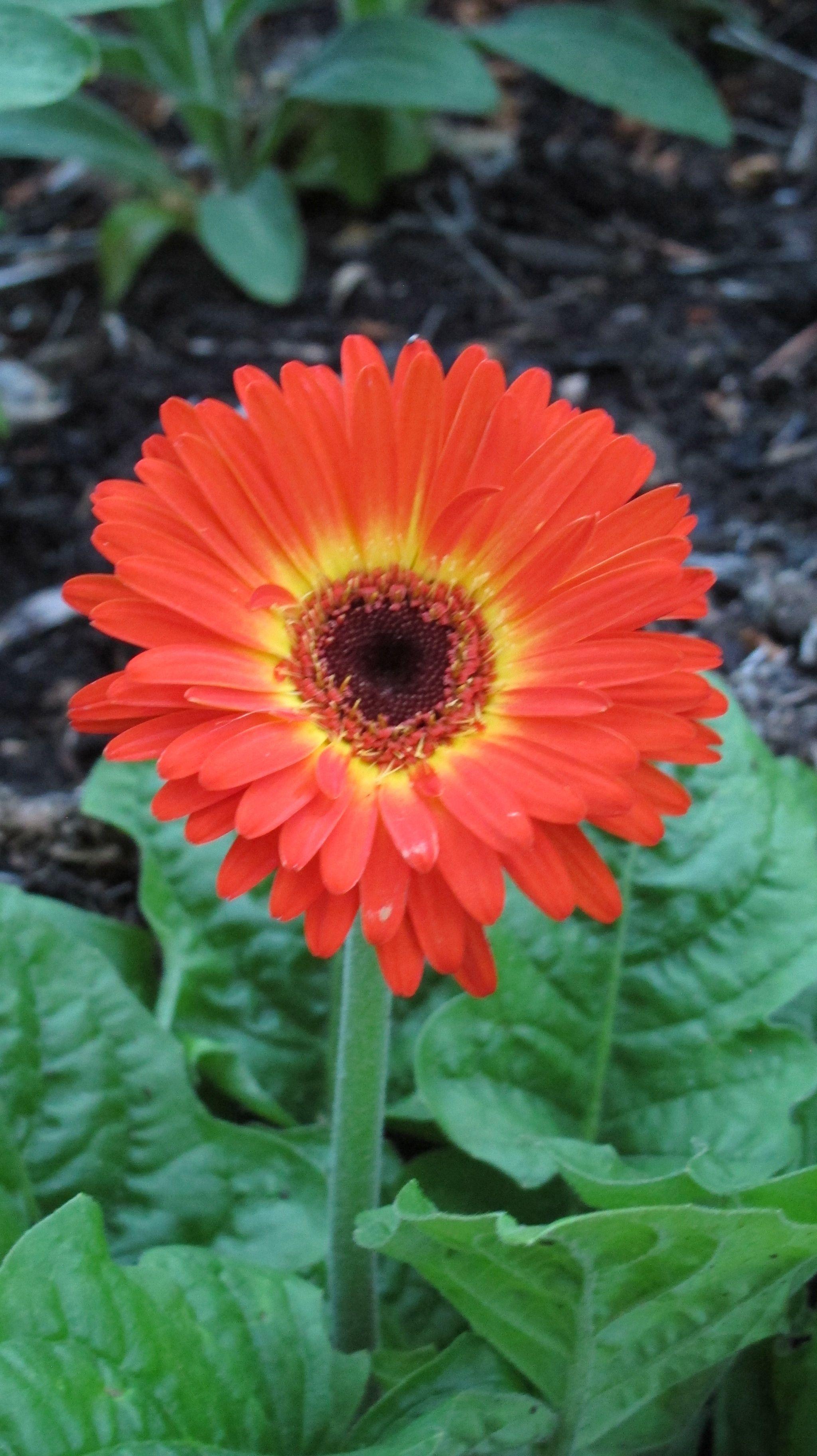 Gerber Daisy | My Garden | Pinterest | Flowers, Gardens and Plants