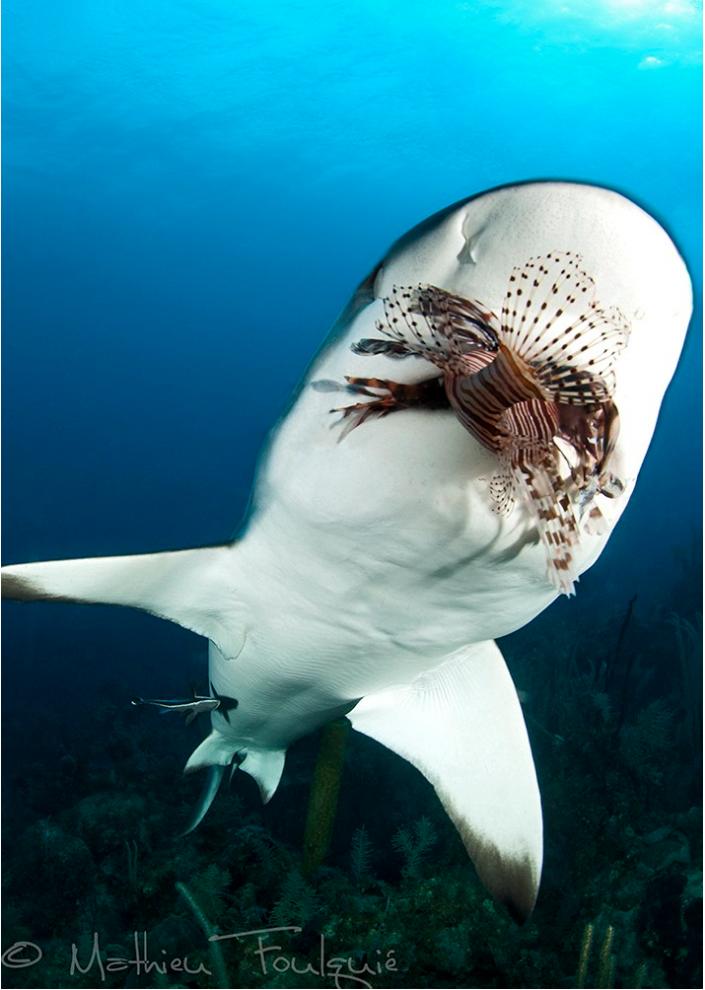 Tiburón de arrecife del Caribe (Carcharbinus perezi) | Arrecife ...