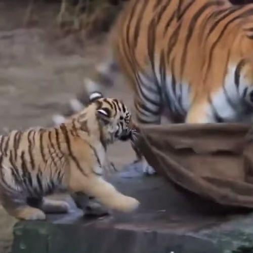 Забавный тигренок ...