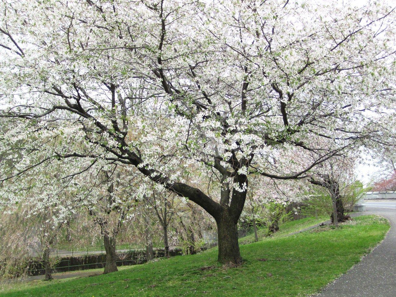 White Blossom Tree By Path In Cherry Blossom Park Photo By Virginia Varela White Blossom Tree Blossom Trees Tree