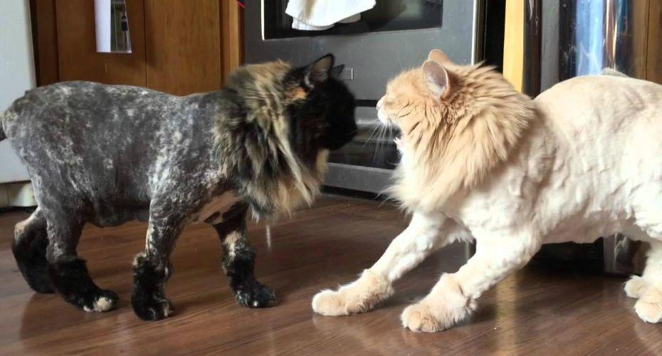 Cat shaving experiment fails miserably epic fail