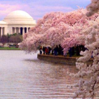 Cherry Trees Washington Dc Cherry Blossom Festival Most Beautiful Cities Cherry Blossom Festival Dc