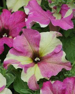 Petunia Sophistica Lime Bicolor Pelleted Seeds Petunia Flower Flower Seeds Petunias