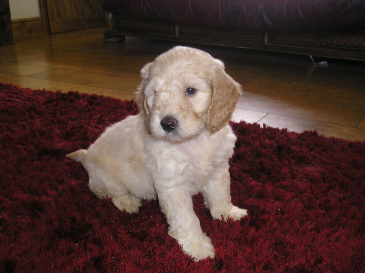 Cockapoo F1 Puppies For Sale Sheffield South Yorkshire Pets4homes Puppies For Sale Puppies Cockapoo