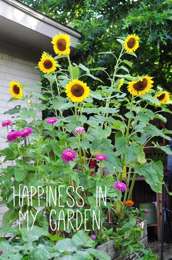 Sunflowers Zinnias And Marigolds Part Two Raised Urban Gardens Sunflower Garden Growing Sunflowers Urban Garden