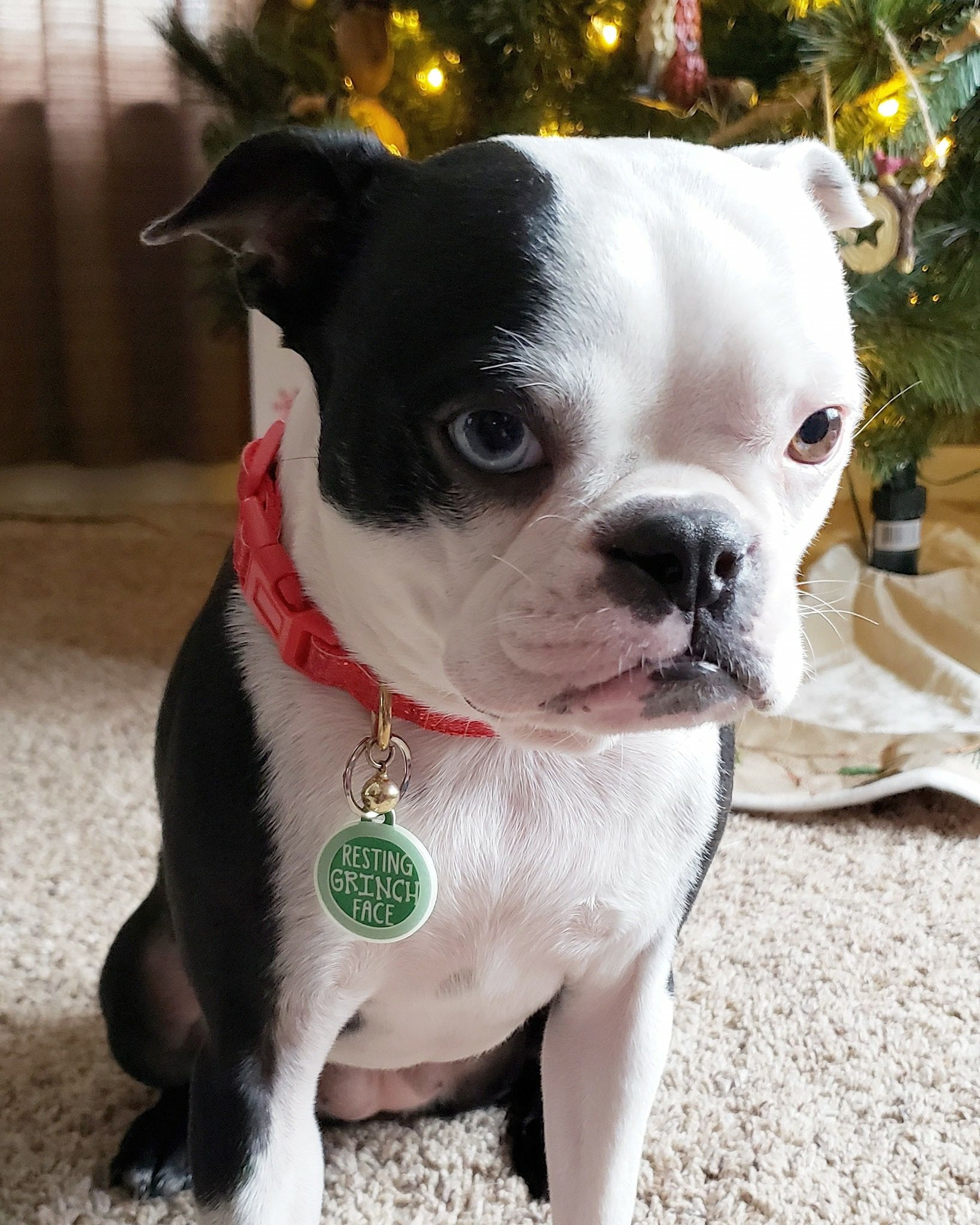 Pin By Courtney On Boston Terrier Mom Boston Terrier Love