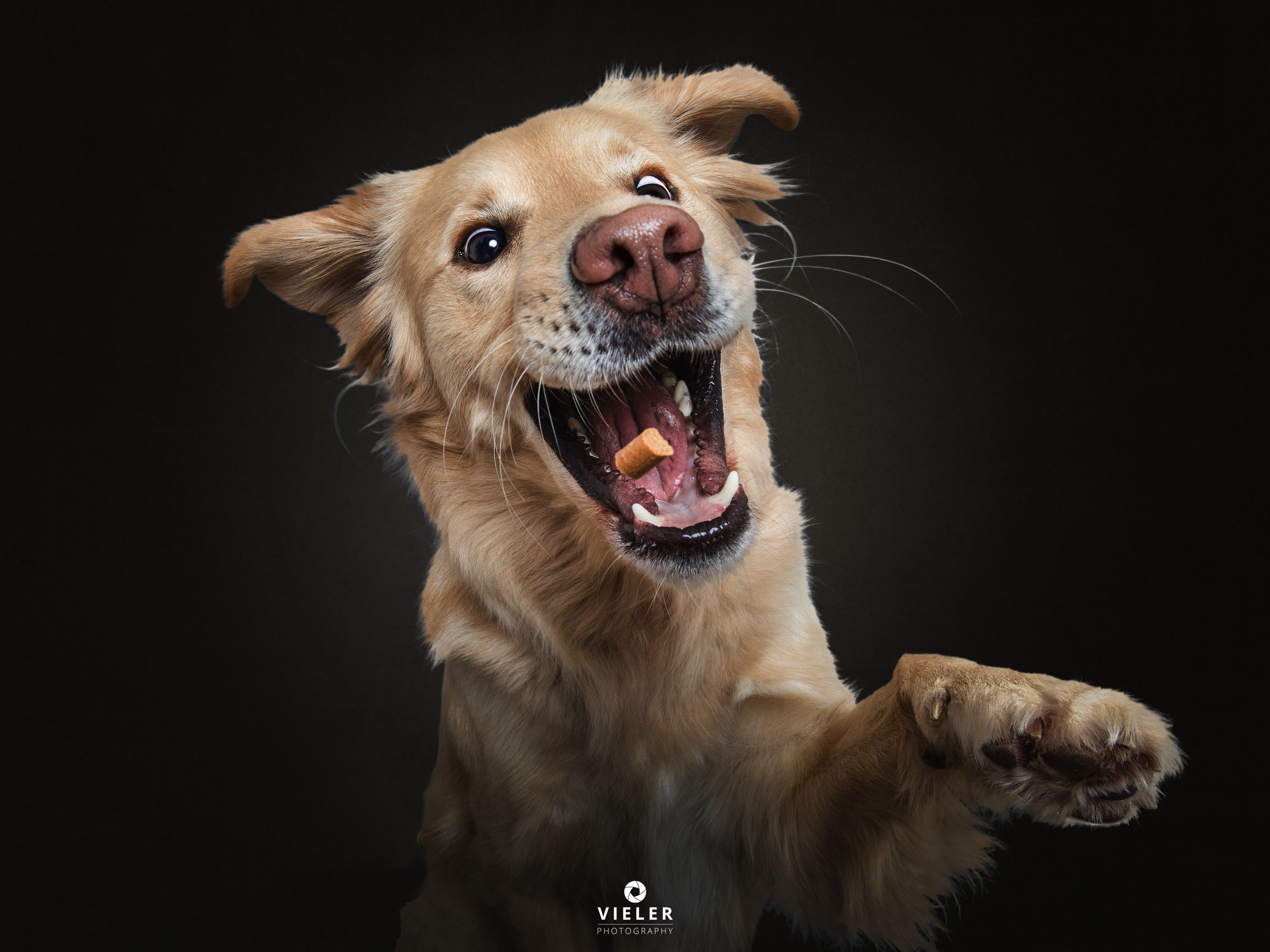 Golden Retriever From My Ongoing Series Dogs Catching Treats