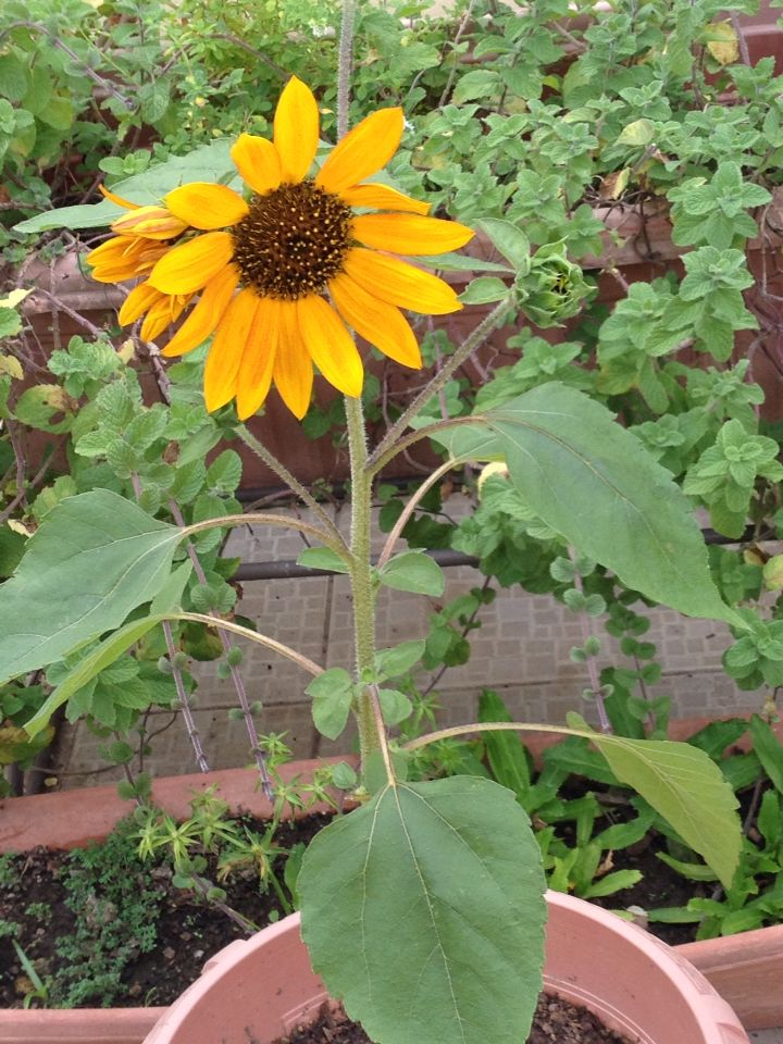 Sunflowers Make The World A Better Place Plants Trinidad Seedlings