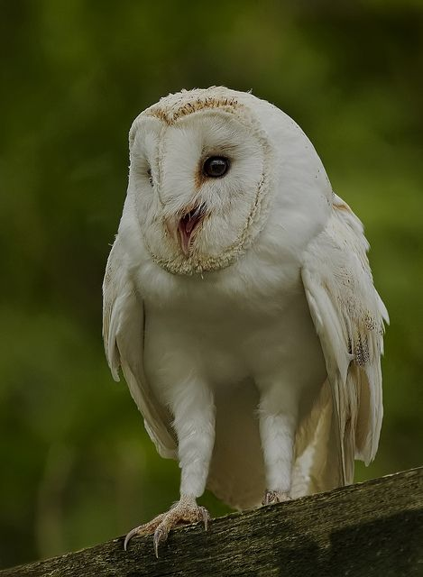 White barn owl. kind of love them but also they creep me out jajaja maybe because the Fourth Kind movie..