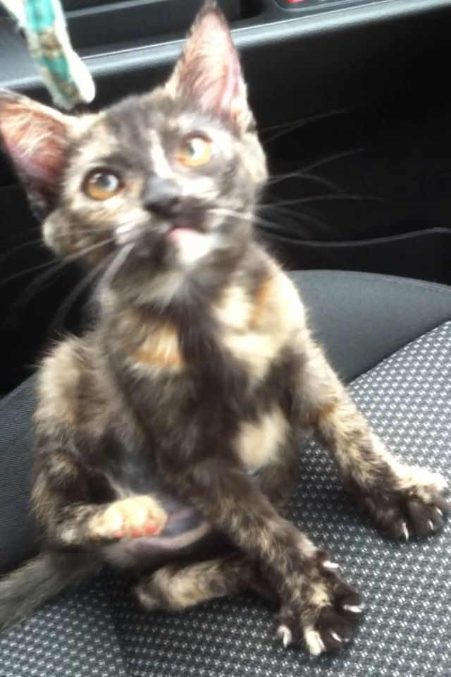 My New Torty Kitten Calico Cat Cats Fur Babies