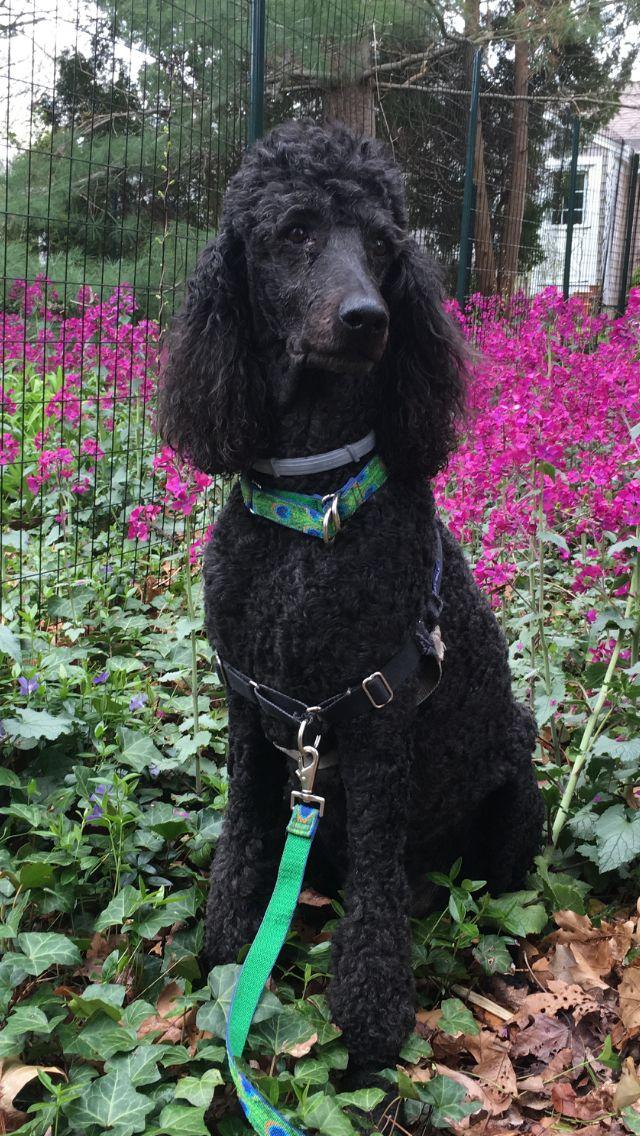 Marley In The Money Plants Standard Poodle Poodle Dog Poodle