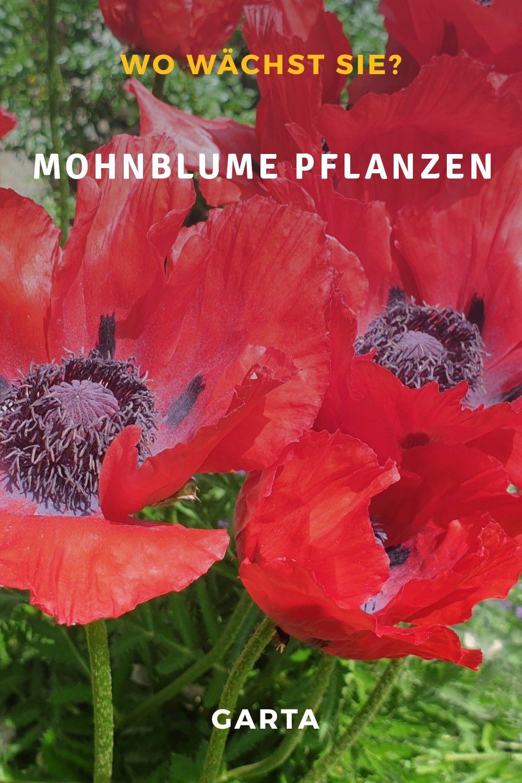 Mohnblume Pflanzen Wo Wachst Der Feuermohn Am Besten In 2020 Pflanzen Mohnblume Blumenfotos