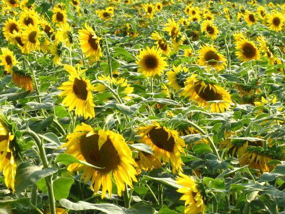 A Field Of Sunflowers Sunflower Fields Sunflower Fields