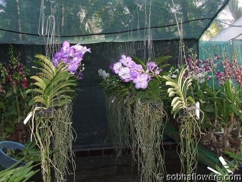 These Are Vanda Orchids And Grow Great Outside On Trees If They Get Wet Every Other Day Orchid House Orchid Plants Buy Orchids
