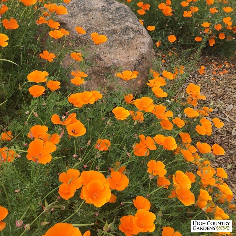 California Poppy Seeds Eschscholzia Poppy Flower Garden