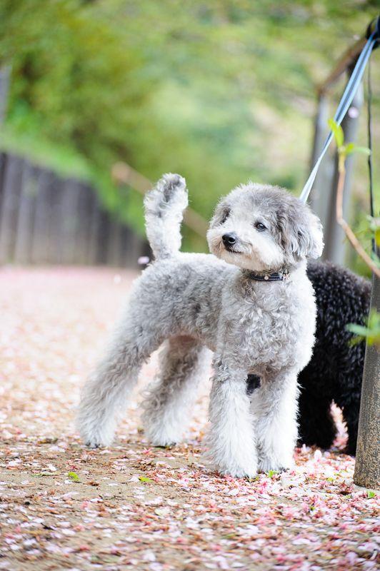 #sakura #toypoodle #silverpoodle