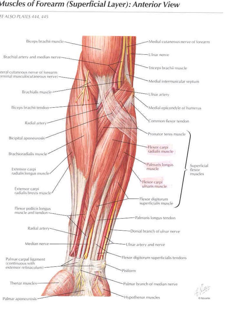 Superficial Muscles Of The Forearm Anterior View Anatomy