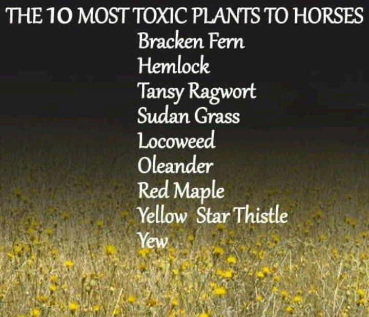 Here is a list of some of the most poisonous plants for horses.